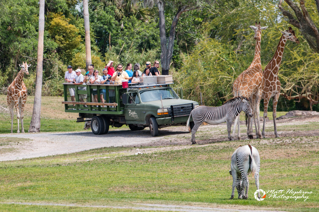 busch gardens serengeti safari. Another Option To See The Plain Even Closer Is Serengeti Safari Tour, Which Offered Several Times Daily For An Additional Charge. Busch Gardens N